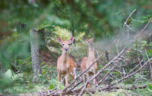 Calls for funding to assist wild deer management across the region