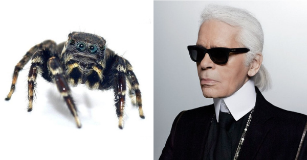 New Aussie jumping spider species named after Karl Lagerfeld